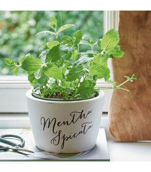 Tasty Herbs Mentha Spicata Pot