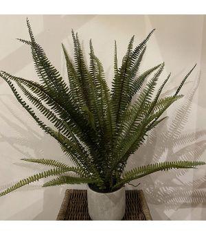 Plant Fern